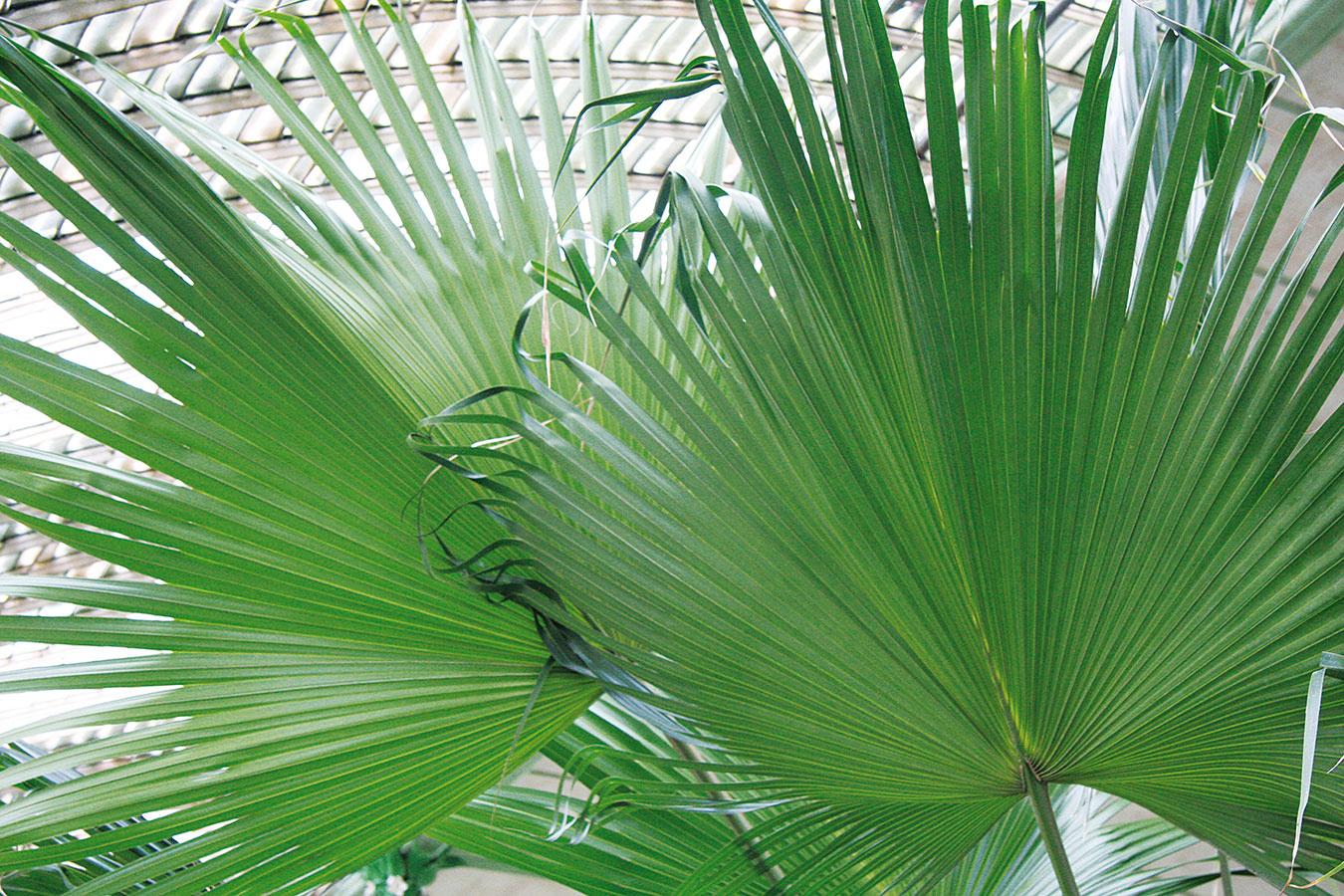Vminulosti nechýbali vžiadnej oranžérii (ako sa kedysi zimné záhrady nazývali) palmy.
