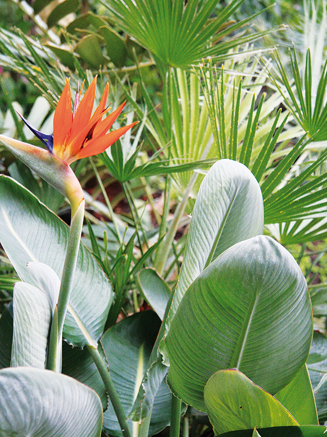 Vteplých avlhkých zimných záhradách sa výborne uplatnia aj strelície (Strelitzia reginae) pôvodom zAfriky, ktorých pestovanie je populárne najmä vposledných rokoch.
