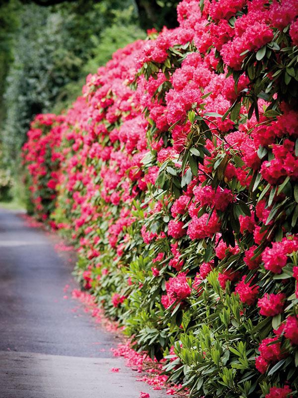 Rododendrony ponúkajú 2 v 1 – neopadavé listy a krásne kvety. Nedajú sa však tvarovať. Sú ideálne do záhrad s kyslejšou pôdou a vyššou vzdušnou vlhkosťou.