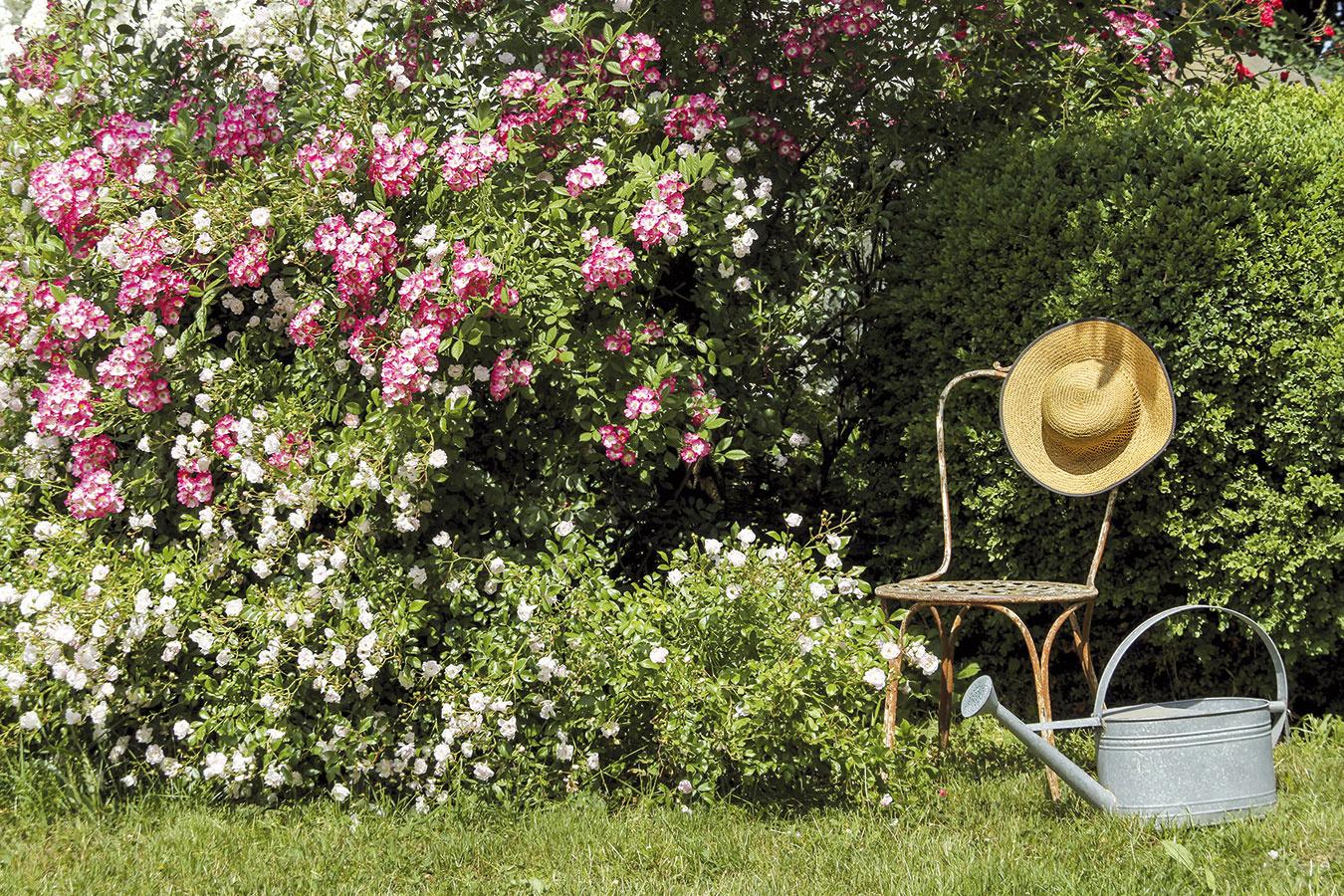 Na tvorbu nepreniknuteľných zákutí sú vhodné aj sadové ruže, ktoré okrem kvetov na jeseň prekvapia i liečivými plodmi.
