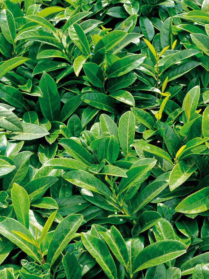 Vavrínovec (Prunus laurocerasus) má väčšie lesklé listy. Dorastá až do výšky 2 m, napríklad kultivar 'Rotundifolia'.
