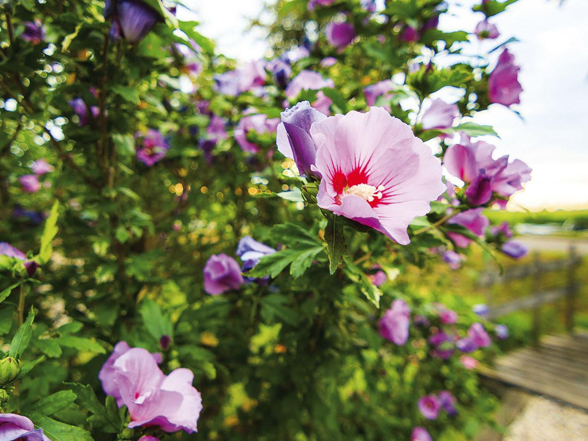 V lete môže záhradu ohraničiť voľne rastúci živý plot z ibišteka (Hibiscus syriacus, na obrázku). Nevzhľadné ploty môžete zase nechať obrásť kvitnúcimi popínavými letničkami, napríklad povojníkom, kapucínkou či okrasným chmeľom. Z drevín sú vhodné zemolezy, plamienky či na vlahu náročný vždyzelený brečtan.