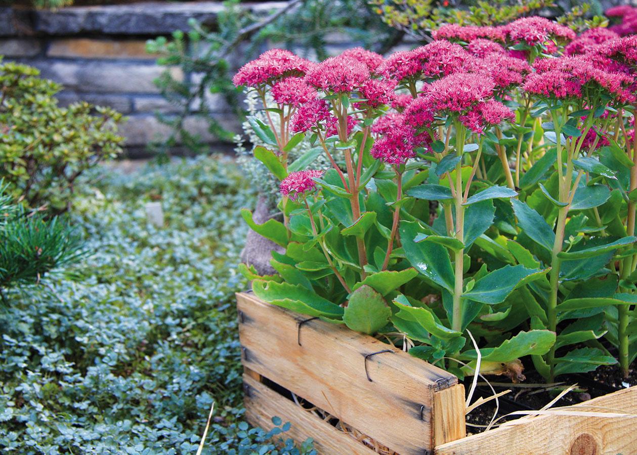 Rozchodník (Sedum spectabile) je vďačnou trvalkou sukulentného charakteru, ktorá sa uplatní najmä na slnečnom záhone. Jeho súkvetia môžu byť väčšie aj menšie, biele, ružové alebo karmínové. Rozchodník rozkvitá koncom leta a kvitne do polovice jesene.