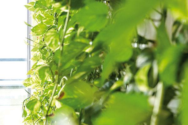 """Potosovec a""""céčka"""". Na zavesenie rastliny (potosovec zlatý) vymysleli vateliéri RULES vlastný praktický systém. Potosovec sa nešplhá po lankách, ale po priehľadných plastových prvkoch, pôvodne určených na závesy do kúpeľne. Ak treba rastlinu presadiť alebo prestrihať, plastové očká sa jednoducho odopnú tam, kde je to potrebné."""