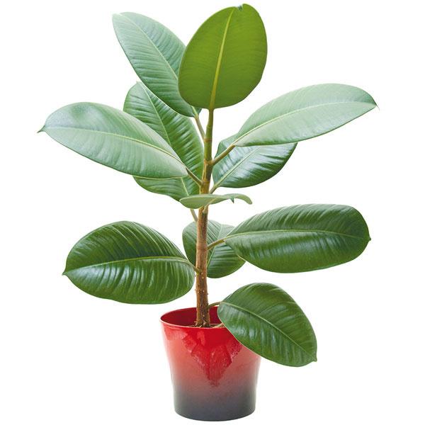 Niektoré rastliny, ako napríklad fikus, majú schopnosť znížiť množstvo formaldehydu vdomácnosti. Inou možnosťou je časté nárazové vetranie.