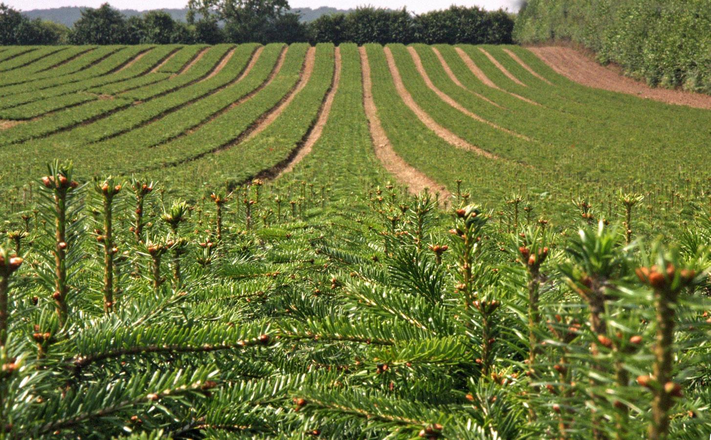 Ťažba vianočných stromov prebieha na plantážach na to určených.