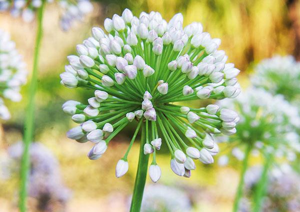 Biela a modrá sú farby, ktoré vnášajú do záhradného priestoru ľahkosť. Opakujúce sa druhy zelene zasa navodia pocity harmónie azurčiaca voda pohodu.