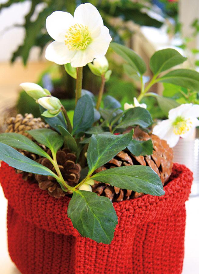 Vzime môžete záhradu obohatiť ovzácne menej tradičné okrasné rastliny, napríklad kvitnúce kry – atraktívny hamamel, kalinu voňavú alebo jazmín nahokvetý.