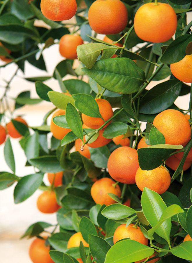 Optimálna teplota pre citrusy je vtomto období 5 až 15 °C. Ideálne je umiestniť ich do dostatočne svetlej miestnosti bez dopadu priamych slnečných lúčov, ktoré môžu vyvolať stratu časti listov.