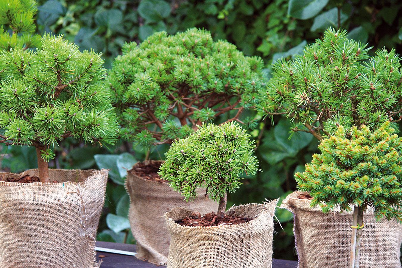 Aj počas zimy je dôležité myslieť na zálievku rastlín vzáhrade. Vlahu treba dopriať bambusom, ihličnanom aj vždyzeleným listnáčom (najmä rododendronom). Urobiť tak treba počas suchších slnečných dní, keď nemrzne.