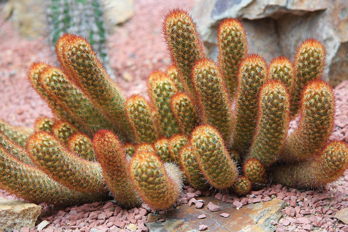 Nutnosť zazimovania kaktusov je málo známa, ale má veľký vplyv na ich zdravotný stav anajmä kvitnutie. Ak vsezóne nekvitli, pravdepodobne neboli správne zazimované.