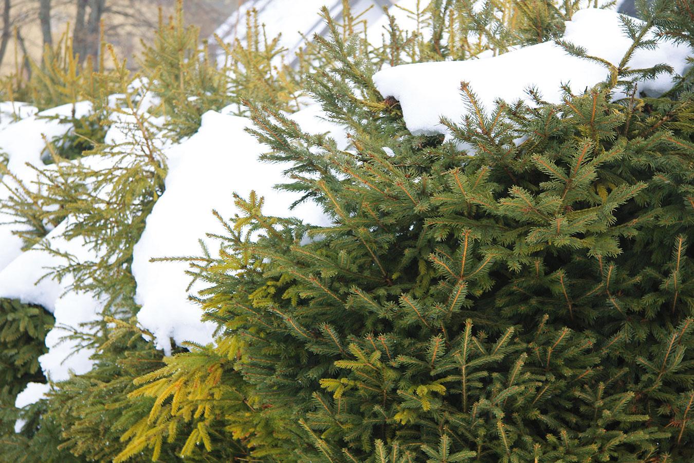 Vzime pravidelne kontrolujte neporušenosť krytu, ktorý rastliny chráni (zakrytie chvojkami), ako aj pevnosť opôr pri novovysadených solitéroch (magnóliách, katalpách, japonských javoroch alebo okrasných čerešniach).