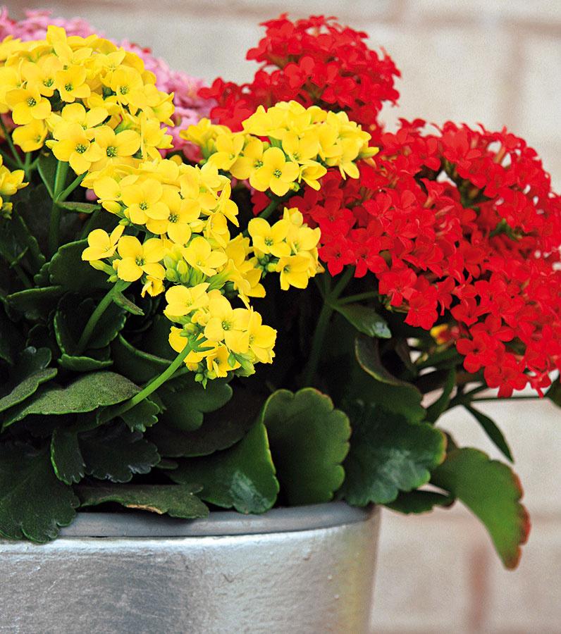 Kalanchoe so sýtofarebnými kvetmi pekne vynikne najmä vkuchyni sbielou linkou. Výhodou je, že ide oveľmi nenáročnú rastlinu, ktorú nájdete vponuke po celý rok.