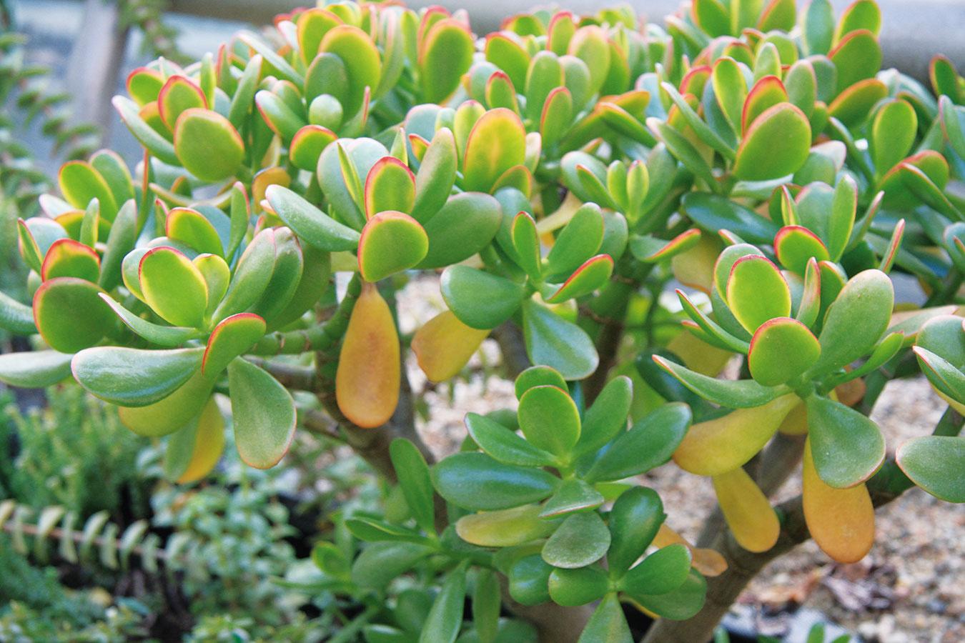 Tučnolist (Crassula portulacea) nevyžaduje špeciálnu starostlivosť avždy vyzerá perfektne. Krásne sú mladé, no najmä staršie (aspoň desaťročné) jedince. Táto dlhoveká rastlina je ideálna aj pre začiatočníkov avhodná do všetkých svetlých bytov. Okrem svetla jej treba dopriať skôr sucho, teplo aobčasnú zálievku. Neublíži jej ani blízkosť tepelného zdroja. Tučnolist sa jednoducho rozmnožuje odrezkami adá sa pestovať ako atraktívny krík aj bonsaj. Počas leta možno rastlinu pestovať na balkóne alebo terase, kde zaručene získa ešte atraktívnejší vzhľad. Tučnolist aj kvitne – jeho drobné biele kvety sa na rastlineobjavujú vskutočne veľkom množstve.