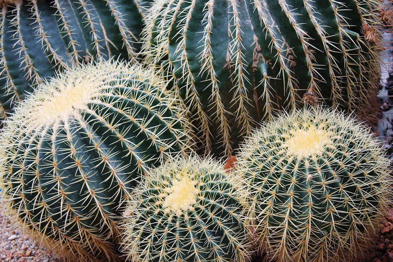 Rebrovec (Echinocactus grusonii), ľudovo nazývaný svokrina stolička, predstavuje často pestovaný kaktus, ktorý vynikne najmä vmoderných slnečných bytoch. Rastlina je atraktívna celkovým vzhľadom, pričomupúta najmä zlatožltými tŕňmi, avynikne vterakotových črepníkoch. Ak to priestor umožní, zaujímavá môže byť aj skupinka viacerých jedincov. Pri pestovaní rebrovca aj iných kaktusov je dôležité, aby sa knim svetlo dostávalo rovnomerne zo všetkých strán. Potom sú krásne vyfarbené anenakláňajú sa do strán. Rebrovec aj kvitne – žiarivo žlté kvety sa ale objavia až po rokoch pestovania. Videálnych podmienkach (vskleníkoch azimných záhradách) dorastá až do výšky 1 m ašírky 0,8 m. Pestujte ho všpeciálnom substráte na kaktusy adajte si pozor na premokrenie substrátu avysokú vzdušnú vlhkosť.