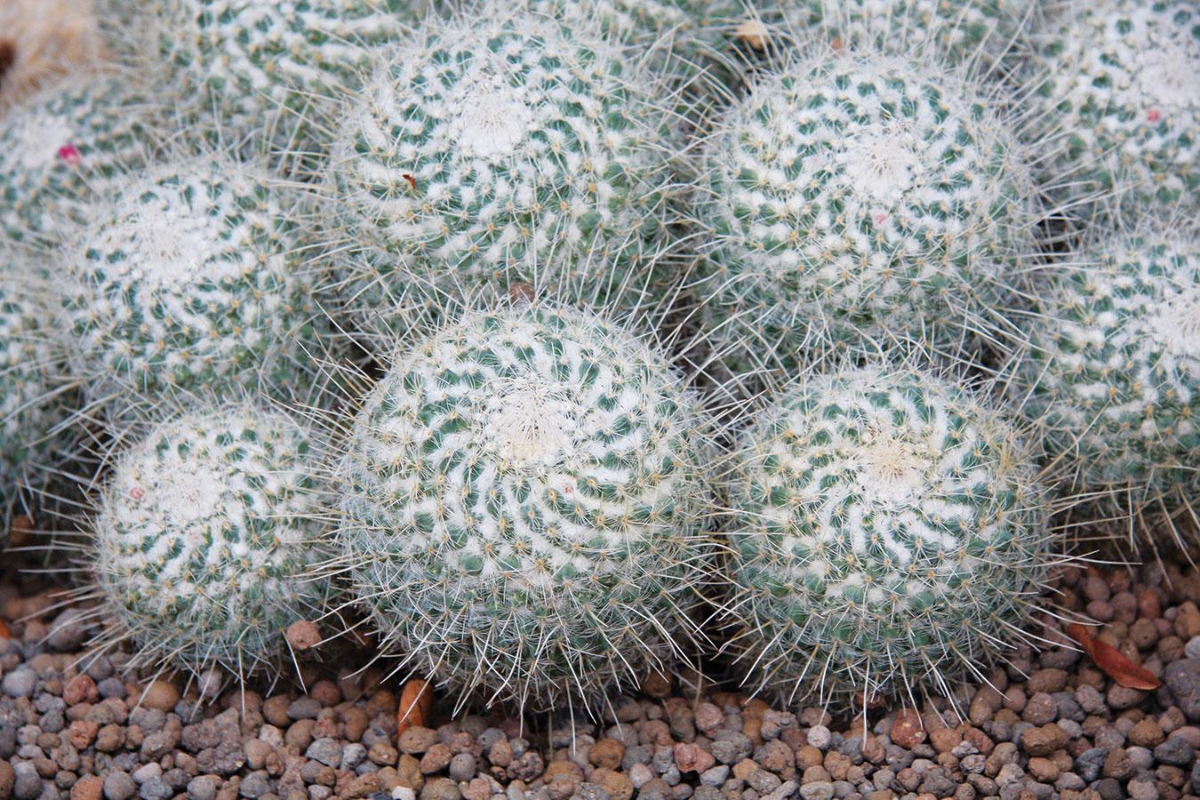 Ak hľadáte kaktus do detskej izby, siahnite po bradavkovci (Mamillaria). Vponuke nájdete množstvo pekných druhov, zktorých možno vytvoriť peknú zbierku. Bradavkovce sú menšie kaktusy sguľovitým vzrastom, výrastkami pripomínajúcimi bradavičky stŕňmi na koncoch asbohatým kvitnutím. Kvitnú aj vmladom veku adeti určite poteší, že sa to podarí docieliť aj im. Drobné lievikovité kvety sú usporiadané do kruhu vhornej časti rastliny. Objavujú sa vždy na jar amôžu mať rôznu farbu – cyklámenovú, ružovú alebo bielu. Bradavkovec potrebuje dostatok svetla, zimovať ho treba na chladnejšom mieste pri minimálnej zálievke. Bohaté kvitnutie podporíte aj hnojivom na kaktusy, ktoré je potrebné aplikovať vlete vo forme zálievky. Zalievať ho treba len striedmo – sucho je vjeho prípade prospešnejšie.
