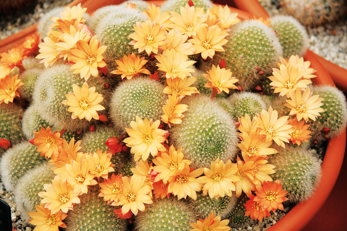 Rebúcie (Rebutia) sú atraktívne kaktusy, ktoré videálnych podmienkach vytvárajú celé kolónie. Dobre sa pestujú vplochých hlinených miskách nateplejších slnečných parapetoch, na ktoré počas dňa zasahuje aj tieň (vždy všpeciálnom substráte). Nevyžadujú žiadnu špecifickú starostlivosť, podobne ako pri ostatných druhoch je však potrebné vyhnúť sa zamokreniu substrátu avzime ich umiestniť do chladnejšieho svetlého priestoru, aby sa podporila tvorba kvetov. Tie  sa objavujú vlete asú oniečo väčšie ako kvety bradavkovca. Keďže nezaberú veľa miesta, oceníte ich najmä vmenších bytoch. Sú dlhoveké avhodné aj pre detských pestovateľov.