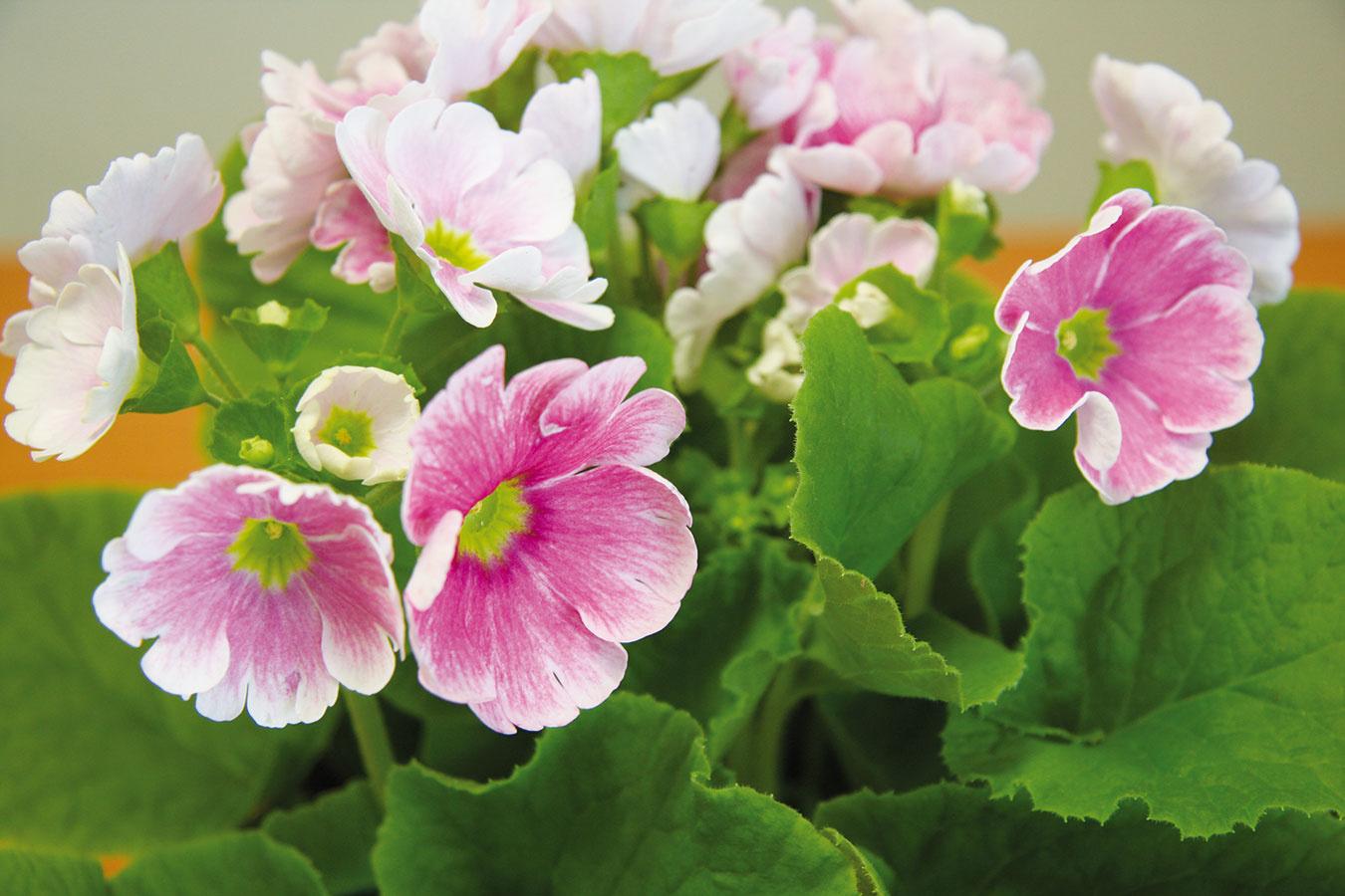 Kvitnúce rastliny oživia každý interiér. Nič nepokazíte, ak si do obývačky na jar umiestnite napríklad krásne farebné primulky.