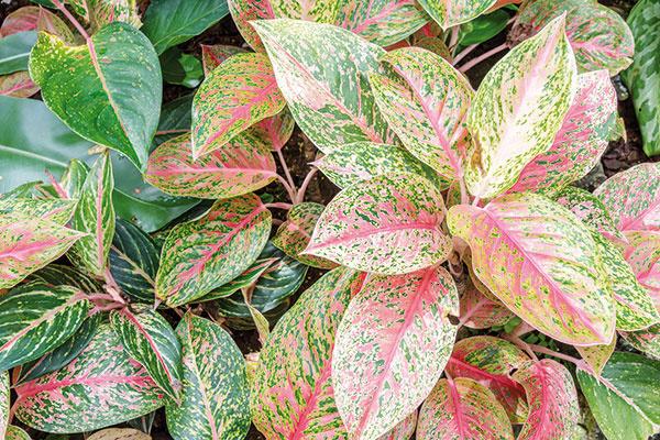 Aglaonéma (Aglaonema) je vďaka svojim pekne zafarbeným listom bezpochyby príjemnou voľbou do obývacej izby. Vyžaduje svetlé miesto, inak je pestovateľsky naozaj nenáročná.