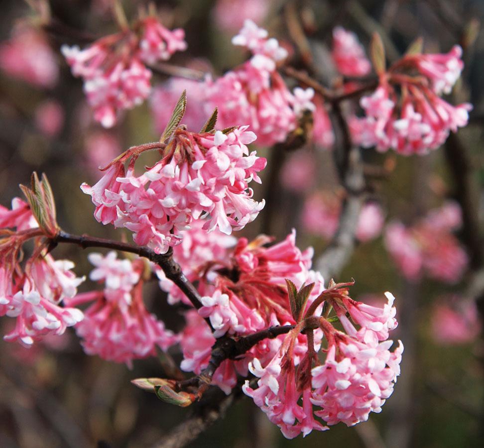 Zima je na kvitnúce rastliny skúpa anájsť počas nej vzáhrade kvety je vždy príjemným prekvapením. Koncom zimy azačiatkom jari sa ale vzáhradníctvach môžete stretnúť sponukou krov, ktoré rozkvitajú práve vzimnom, resp. predjarnom období. Takéto kry záhradu zaujímavo spestria, rozhodne ju však nimi neprepĺňajte. Knajkrajším druhom patrí hamamel (Hamamelis mollis), voňavá kalina (Viburnum fragrans), jazmín (Jasminum nudiflorum) so žiarivo žltými kvetmi aefektnými zelenými konármi, ale aj zimovec alebo takmer na jar kvitnúci lieskovníček. Umiestnite ich na dobre viditeľné slnečné adostatočne chránené miesto, do skupinky so vždyzelenými krami alebo pred ihličnany stmavozeleným ihličím, napríklad ktisu.