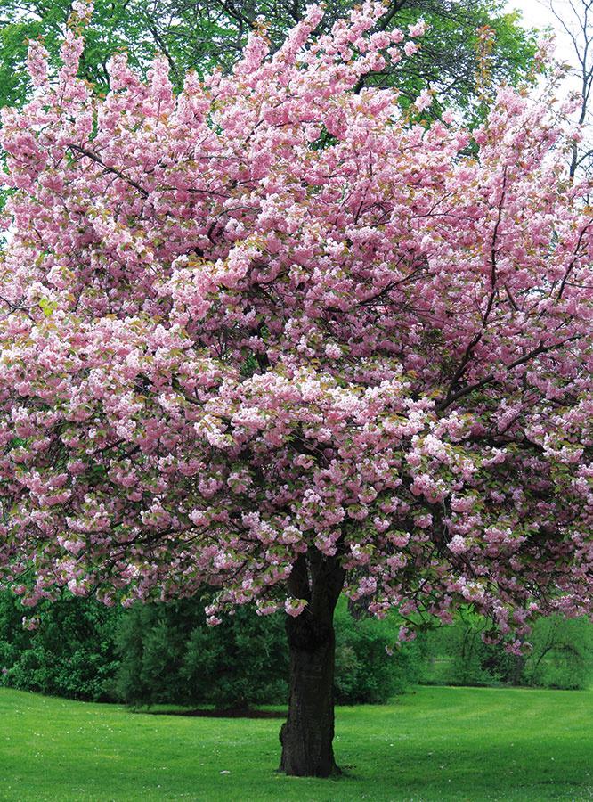 Túžbou mnohých ľudí je mať aj vmalej záhrade strom. Vsúčasnosti sa určite dá nájsť riešenie, ktoré zohľadňuje priestorové možnosti každej znich. Do menších záhrad sú vhodné druhy so štíhlym vzrastom, napríklad štedrec, aleboskompaktnou guľovitou korunkou, akými sú katalpy (Catalpa bignonioides 'Nana'), japonské vŕby (Salix integra 'Hakuro Nishiki'), agáty (Robinia pseudoacacia 'Umbraculifera') alebo duby (Quercus palustris 'Green Dwarf'). Vo väčších záhradách možno vysadiť aj viacero stromov – môžu byť situované na okraji pozemku (vadekvátnej vzdialenosti od plota) alebo natrávnatej ploche. Pri výbere konkrétneho druhu zvážte štýl záhrady, no najmä jej svetelné apôdne podmienky. Do veľkých záhrad sú vhodné okrasné čerešne, okrasné jablone amagnólie, zokrasných listom javory, platany, ľaliovníky, duby alebo brezy.
