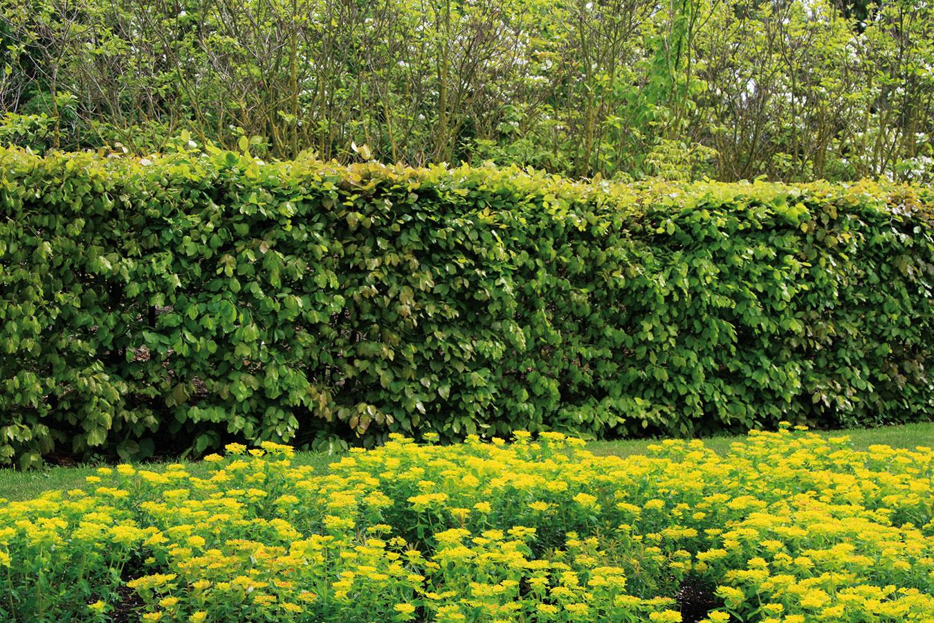 Listnaté kry možno vo forme živých plotov použiť aj na ohraničenie alebo predelenie pozemku. Jar je ideálna na ich zakladanie. Vprírodnom type záhrad ana vidieku sa uplatnia skôr voľne rastúce živé ploty (zložené zrozmanitých výškovo zhodných kvitnúcich krov), vmodernej mestskej záhrade sú pôsobivejšie tie tvarované, ktoré sú ale náročnejšie na čas aúdržbu. Vkategóriiopadavých krov môžete zvoliť klasiku vpodobe vtáčieho zobu (Ligustrum vulgare) alebo menej využívaného hrabu (Carpinus betulus), prípadne dráča (Berberis thunbergii). Pekný môže byť aj buk. Zo vždyzelených listnáčov je zaujímavý pomalšie rastúci krušpán (Buxus sempervirens) alebo vavrínovec (Prunus laurocerassus). Na predelenie pozemku môžete použiť aj popínavé dreviny, ktoré pomerne rýchlo obrastú nainštalované treláže.
