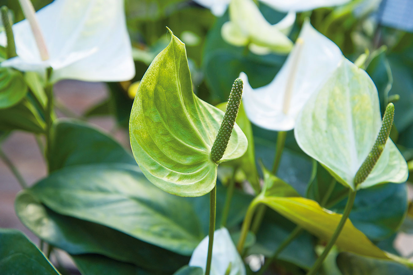 Vo svetlých priestrannejších kúpeľniach sa výborne darí antúriám (Anthurium andreanum), prípadne palmám menšieho vzrastu, napríklad chamaedorei alebo livingstonii.