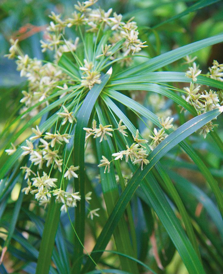 Šachor (Cyperus alternifolius) miluje vyššiu vzdušnú vlhkosť. Vkúpeľni sa mu preto bude dariť zcelého bytu najlepšie.