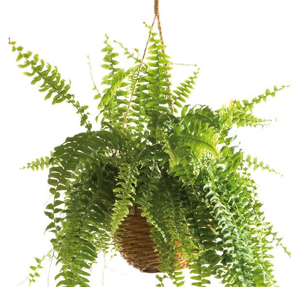 Chcete mať doma niečo zelené?   A nemáte toľko času venovať sa rastlinám? Vyskúšajte nefrolepku, známu izbovú papraď. Má rada vyššiu vzdušnú vlhkosť, preto ju občas osprchujte, vzpruží sa. Nedostatok svetla nie je problém. Krásne vynikne napríklad v kúpeľni.