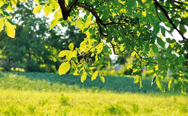 Osobitú atmosféru dodávajú vidieckym záhradám staré stromy, napríklad orechy.