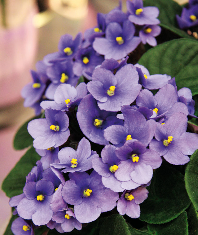 Africké fialky (Saintpaulia ionatha) oživia vďaka svojim pekným farebným kvetom každú detskú izbu. Vítaným bonusom je, že sú naozaj nenáročné na údržbu.