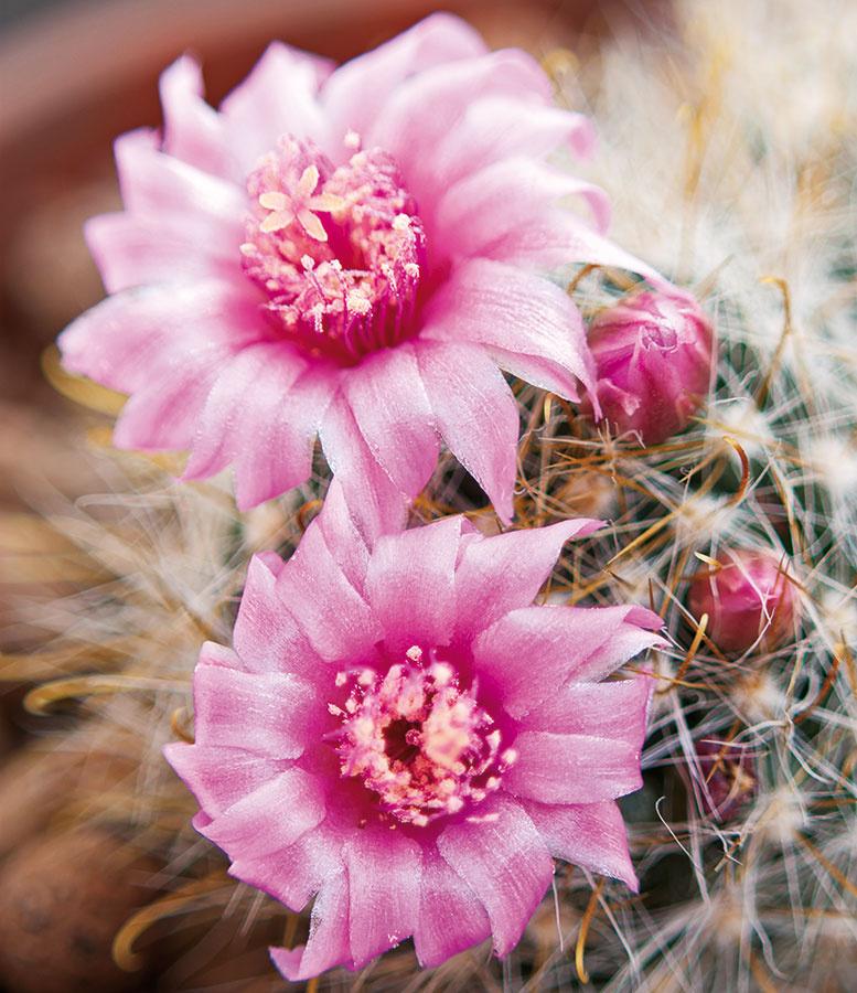 Kaktusy sú pre detských obyvateľov bytu naozaj lákavé aradi si znich vytvárajú zbierky. Jej súčasťou môže byť aj pekne kvitnúci bradavkovec (Mammillaria).