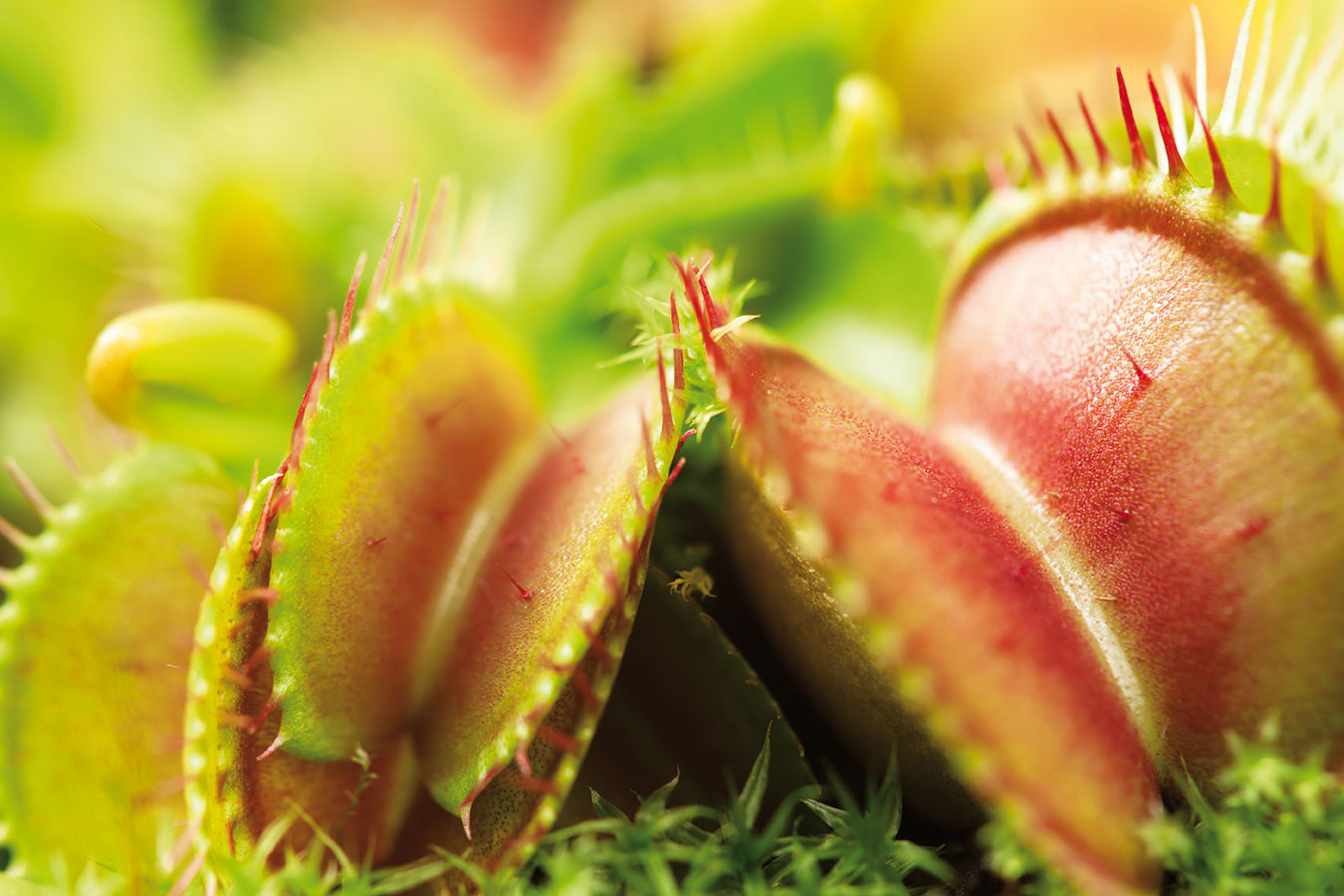 Ďalšími detskými obľúbencami sú mäsožravé rastliny, ktoré dokážu detskú pozornosť zaujať naozaj nadlho. Zadovážiť im môžete napríklad mucholapky (Dionaea muscipula).