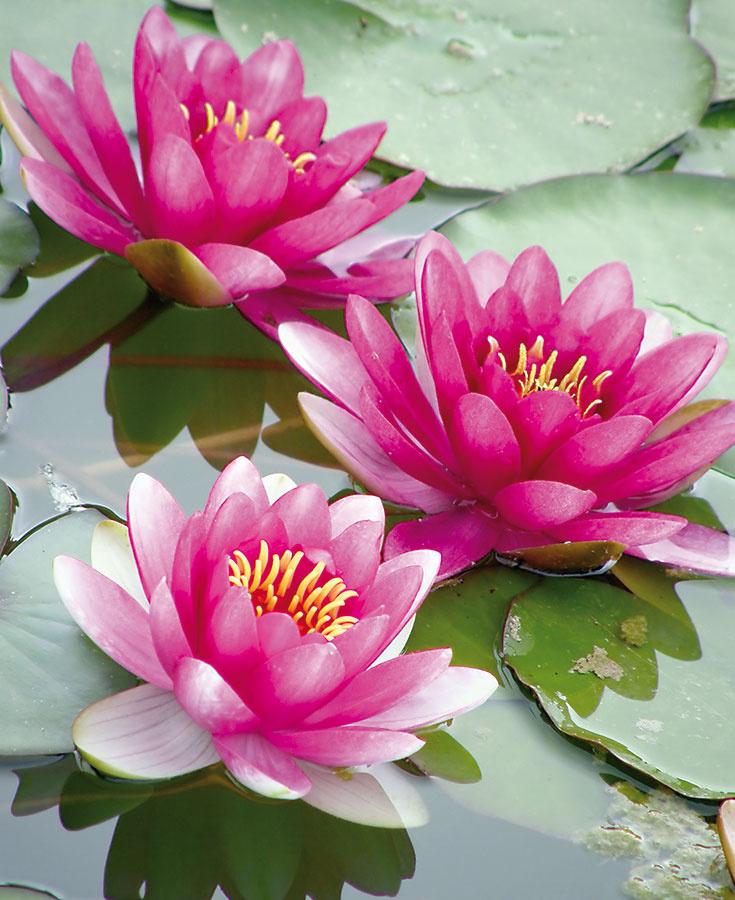 Lekná sú bezpochyby najkrajšie vodné rastliny. Ich kvety sa dopoludnia otvoria apopoludní zatvoria, pričom každý kvitne asi týždeň. Kvety niektorých kultivarov sú obrovské, iné ich zase majú miniatúrne, no objavujú sa vo väčších množstvách.