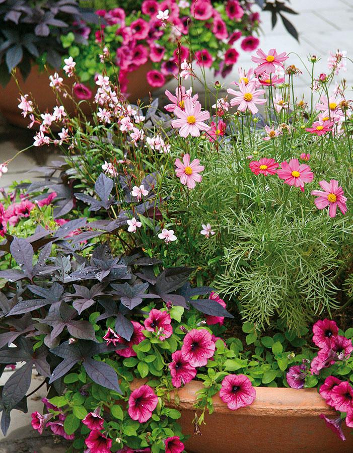 Aby letničky ainé rastliny vo vegetačných nádobách bohato kvitli, zabezpečte im pravidelný prísun vlahy. Najlepšie je zavlažovať ich odstátou vodou vranných hodinách aideálne na povrch substrátu, nie na listy. Pri zavlažovaní večer hrozí vyššie riziko napadnutia rastlín hubovými chorobami, keďže listy zostávajú na noc vlhké. Substrát nikdy neprelievajte – medzi zálievkami musí vždy mierne preschnúť. Rovnako dôležité je aj pravidelné prihnojovanie kvalitným viaczložkovým hnojivom určeným pre danú skupinu rastlín (napríklad pre balkónové letničky). Väčšina druhov vyžaduje aj pravidelné odstraňovanie odkvitnutých kvetov, čím sa podporí tvorba nových avyplatí sa aj pravidelne zastrihávať najdlhšie výhonky, čím docielite lepšie zahusťovanie.