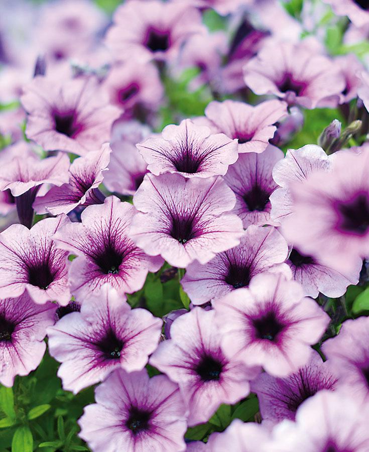 Tieto slnko milujúce letničky sa vsúčasnosti sobľubou vysádzajú do kvetináčov na okenné parapety alebo do rôznych závesných nádob, ich pestovanie je však trochu špecifickejšie. Surfínie by mali byť situované na mieste chránenom pred vetrom adažďom. Rastliny totiž zle znášajú nadbytok vody apočas daždivejších dní aj menej kvitnú. Kvety, ktoré poškodí vietor alebo dážď, vždy odstráňte. Sufínie prihnojujte špeciálnym hnojivom, nie prípravkom na balkónové letničky –predídete tak nežiaducemu žltnutiu listov, ktoré tieto rastliny často postihuje. Pravidelne im odstraňujte odkvitnuté kvety azaštipujte najdlhšie výhonky. Keďže sú pomerne často napádané rôznymi škodcami aochoreniami, pravidelne ich kontrolujte.