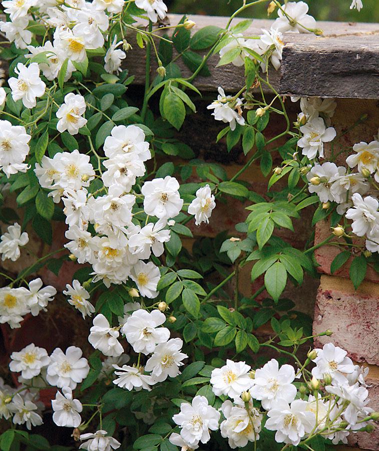 Aj počas leta môžete záhradu obohatiť onové ruže, atým podporiť jej farebnosť. Vysádzať možno aj kvitnúce jedince (vždy skoreňovým balom). Výhoda výsadby kvitnúcich rastlín spočíva vtom, že si vopred vyberiete farebný odtieň. Ostatné ruže vtomto období výdatne zavlažujte. Na vyšší prísun vlahy sú náročné najmä mladé jedince. Pravidelne tiež odstraňujte buriny akyprite pôdu vich okolí, aby sa ku koreňom dostal dostatok vzduchu. Bohatosť kvitnutia závisí aj od prísunu živín, apreto nepodceňte ich prihnojovanie (použite naň špeciálne hnojivo). Kpravidelným úkonom patrí aj odstraňovanie odkvitnutých kvetov akontrola zdravotného stavu ruží.