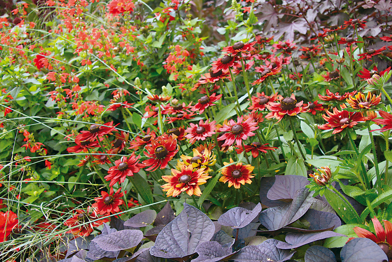 Okrem výdatného zavlažovania, na ktoré sú tieto rastliny mimoriadne náročné, je nevyhnutné myslieť aj na ich pravidelné prihnojovanie. Vyššie letničky sú vhodné aj na rez. Netreba sa ho obávať – podporíte ním tvorbu nových kvetov. Určite sa však vyvarujte zaburinenia letničkového záhona. Burina rastlinám odoberá vlahu aj živiny, čo sa viditeľne prejavuje ich chradnutím. Pravidelne im odstraňujte suché ažltnúce listy aprínosné je aj kyprenie pôdy vich okolí. Na rozdiel od trvalkových záhonov nie je dobré tie letničkové mulčovať. Ak chcete takúto výsadbu zatraktívniť, dosaďte do záhona farebné okrasné trávy, ktorých ponuka sa neustále rozširuje.