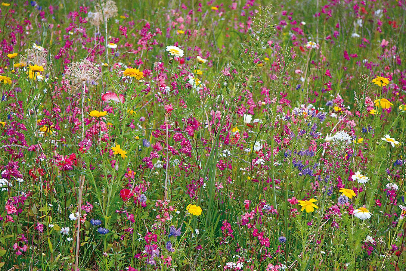 Koniec leta je ideálny na zakladanie kvetinových lúk, ktoré sa uplatnia najmä vo vidieckom prostredí – na slnečných miestach pri chatách achalupách. Na tento účel možno kúpiť aj hotovú trávnu zmes, ktorá sa zmieša so suchým pieskom arozhodí na pripravenú plochu. Dbajte na to, aby bola vysiata plocha neustále vlhká, čím sa docieli rovnomerné klíčenie. Takýmto spôsobom nikdy nevysievajte už existujúcu alebo zle prosperujúcu trávnu plochu – efekt by bol prakticky nulový. Pôda by mala byť chudobnejšia na živiny, teda nie príliš výživná. Kvetinovú lúku možno založiť na rovine alebo vnie príliš prudkom svahu. Takéto stvárnenie záhrady však nie je vhodné do domácností alergikov, keďže súčasťou lúk sú aj rastliny, ktorých peľ môže vyvolať alergické reakcie. Skosením bude lepšie počkať až na jeseň, prípadne až na ďalšiu sezónu.
