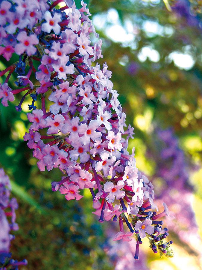 Aby bola vaša záhrada plná motýľov, postačí si do nej vysadiť rastliny, ktoré obľubujú. Najlepšou voľbou je budleja (Budleia davidii). Tento mohutnejší pekne voňajúci ker vyžaduje teplé slnečné miesto, dostatok priestoru apravidelné odstraňovanie odkvitnutých kvetov. Motýle priláka aj ďalší vlete kvitnúci ker ibištek (Hibiscus syriacus), niektoré druhy voňavých ruží akvitnúce trvalky ako echinacea, zvončeky, železníky, kleomy, floxy, rebríčky, klinčeky, rozchodníkovce, rudbekie. Zbyliniek aaromatických rastlín sa motýlej priazni teší levanduľa, pamajorán aj šalvia azaručeným magnetom sú i popínavé zemolezy (Lonicera caprifolia). Ideálne je vysadiť si viacero takýchto rastlín na rôzne miesta vzáhrade azriecť sa chemického postrekovania, ktoré dokáže motýle odlákať.