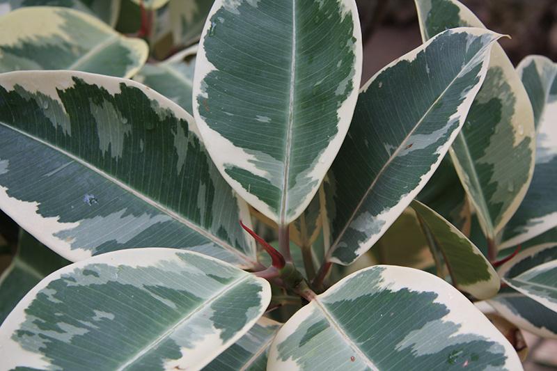 Veľkolistý figovník patrí k k druhom, ktoré vyparia najviac vody a tým prispievajú k zvýšeniu vzdušnej vlhkosti.