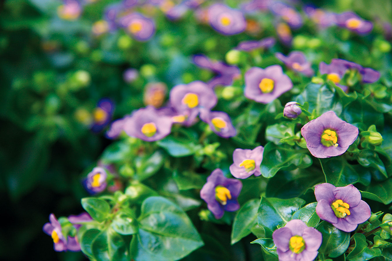 Ekzakum (Exacum affine), ľudovo známe aj ako nemecká fialka, je jednoročná rastlina, ktorá kvitne šesť až osem týždňov (od júna do novembra). Jej kvety sú voňavé amôžu byť modré, fialové, biele alebo ružové.