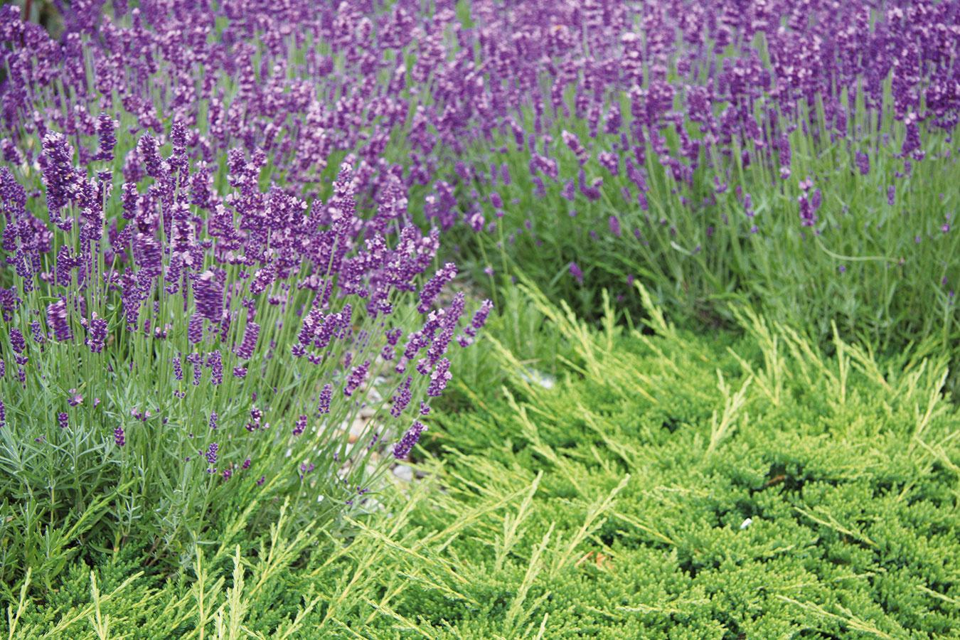 Vysadené rastliny vyžadujú starostlivosť, predovšetkým kým sa zakorenia. Potom už spravidla nie je pravidelnejšia opatera potrebná. Zavlažovať ich treba iba vdňoch, keď je veľmi teplo asucho. Priebežne im treba strihať odkvitnuté kvety, suché listy apo skončení sezóny aj suché vňate. Ak sa predsa len objaví burina, treba ju hneď zlikvidovať. Príliš rozrastené druhy je zase dobré redukovať. Záhony so štrkom menšej frakcie občas prehrabte – plocha sa tak prečistí azároveň sa odstráni drobná burina. Podľa potreby tiež treba krastlinám dosypávať štrk (textília by nemala pretŕčať). Aby záhon pôsobil prirodzeným dojmom, nechajte niektoré rastliny vysemeniť. Výsadbu môžete občas prihnojiť hnojivom na trvalky (nie je to nevyhnutné).