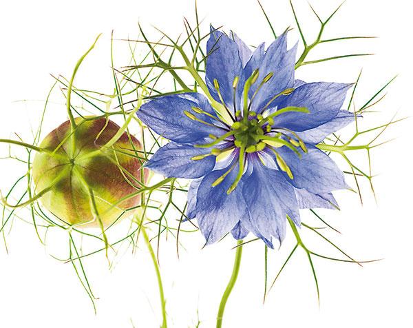 Černuška (Nigella) je obľúbenou súčasťou letničkových záhonov, no pestovať ju možno aj vnádobe. Jej jemné kvety môžu byť biele, ružové, fialové alebo modré. Pomenovanie dostala na základe čiernej farby svojich semien.