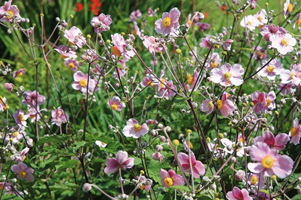 Aj na jeseň nájdete vpredaji mnohé pekné trvalky, napríklad bohato kvitnúcu veternicu (Anemone hupehensis), ktorá pôsobí atraktívne vo vidieckych záhonoch, moderných mestských záhradách aj kompozíciách vjaponskom štýle. Veternica je skôr vyššia apekne sa rozrastá, preto jej doprajte dostatok miesta. Jej kvety sa objavujú koncom leta ana rastline zotrvajú pomerne dlho. Môžu byť jednoduché alebo plné, biele, ružové alebo takmer fialové. Tomuto druhu vyhovuje polotieň, resp. svetlý tieň avýživná mierne vlhká pôda. Vysádza sa skoreňovým balom, pričom postačí aj jedna rastlina. Kpekným trvalkám patria aj astry alebo ploštiničník, klasikou sú chryzantémy.