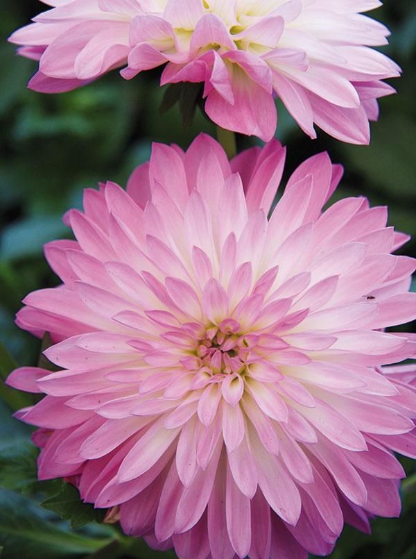 Obľuba týchto pekných hľuznatých rastlín narástla najmä vposledných rokoch. Snastupujúcou jeseňou sa kvitnutie georgín zintenzívňuje, čo možno podporiť pravidelným odstraňovaním odkvitnutých kvetov, prípadne častým zberom kvetov do váz. Rezať treba až pri najbližšom rozkonárení, vďaka čomu sa budú  neustále tvoriť nové kvety. Nezabúdajte na výdatný prísun vlahy (voda sa nesmie dostávať na listy) aprihnojovanie, ktoré podporuje vyzretie hľúz. Aby sa vyššie druhy nezlomili, zabezpečte im oporu. Zgeorgín sa vzáhrade môžete tešiť aj vobdobí, keď je už iných kvetov menej. Pred vybratím zpôdy auskladnením je dobré počkať, kým nadzemná časť mierne namrzne.