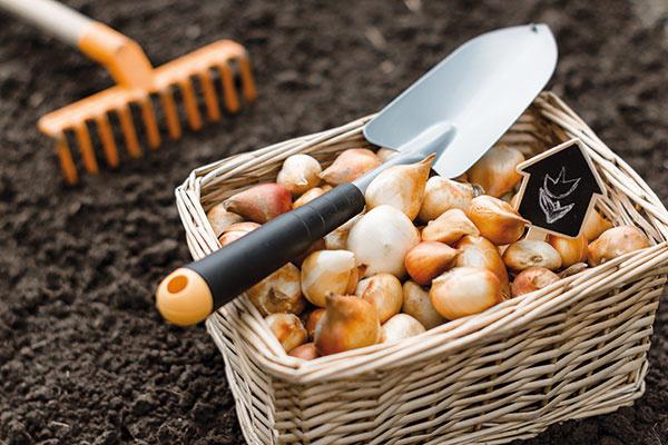 Záhradníctva sa na jeseň zaplnia množstvom cibuliek ahľúz – nastáva totiž čas ich výsadby. Zadovážiť si môžete tradičné aj menej známe druhy, smnožstvom rastlín to však netreba preháňať. Vysaďte si radšej menej druhov, no zkaždého viacero jedincov. Vprípade cibuľovín je dobré vytvárať menšie, resp. väčšie skupiny. Nevyhnutné je zohľadňovať výškový aspekt – nižšie druhy sústreďte kchodníkom, vyššie do záhonov. Nezabúdajte ani na to, že jednotlivé druhy môžu mať rôzne požiadavky na hĺbku výsadby. Vzásade však platí, že čím menšia cibuľa alebo hľuza, tým plytšia výsadba, napríklad cibule tulipánov sa sadia do hĺbky 10 až 12 cm, najhlbšiu výsadbu zase vyžadujú hyacinty anarcisy. Cibuľovinám doprajte slnečné miesto spriepustnou pôdou.