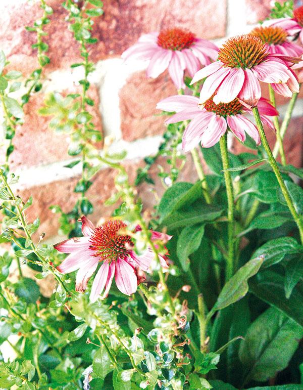 Echinacea (Echinacea) krásne kvitne práve začiatkom jesene, vďaka čomu pekne spestrí prakticky akúkoľvek jesennú výsadbu.