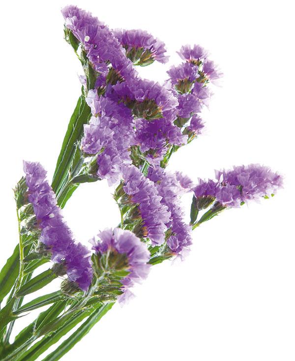 Limonka (Limonium) je jednou znajznámejších slamienok. Pekne ukáže samostatne aj vkombinácii sďalšími kvetmi sýtych farieb.
