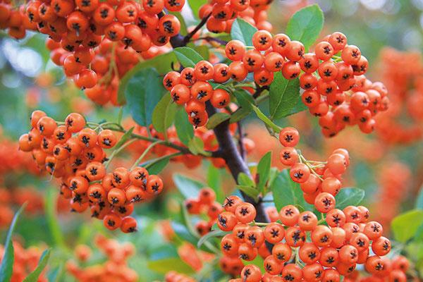 Hlohyňa (Pyracantha coccinea) patrí nenáročným drevinám adá sa zaujímavo tvarovať. Vytvoriť znej môžete živé ploty adeliace steny, možno ju vysadiť do záhona alebo väčšej nádoby. Pôsobivá je vspoločnosti jesenných trvaliek aj ihličnanov. Hlohyňa vás upúta svojimi vždyzelenými listami (niektoré kultivary menia vzime farbu na jemne purpurovú), no najmä plodmi. Tie môžu byť menšie iväčšie, žlté, oranžové alebo takmer červené. Rastlina, ktorá sa vysádza práve vtomto období (vždy skoreňovým balom), je nimi teraz doslova obsypaná. Hlohyňa vyžaduje slnko apriepustnú pôdu. Dobre znáša znečistené ovzdušie, je odolná avprípade poškodenia sa dobre regeneruje. Keďže má tŕne, je menej vhodná do záhrad sdeťmi.
